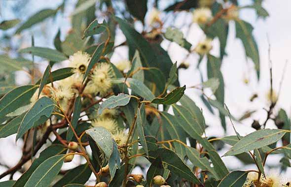 4. Emu Ridge Eucalyptus Distillery