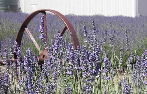 7. Emu Bay Lavender