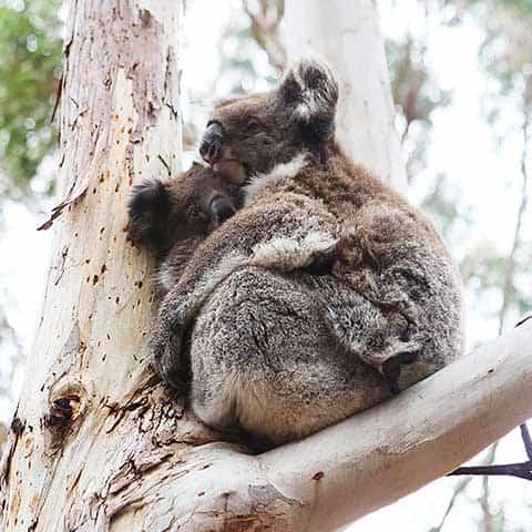 Southern-Ocean-Lodge_Kangaroo-Island_Koala-Hanson-Bay-Sanctuary