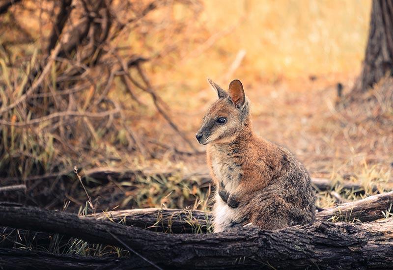 Wallaby thumbnail